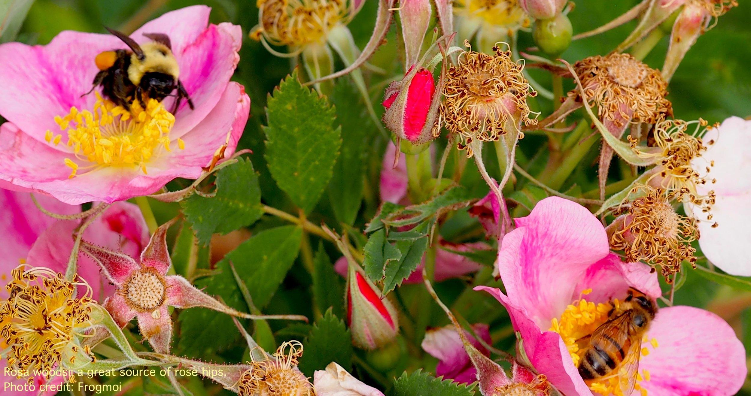 rosa woodsii three.jpg