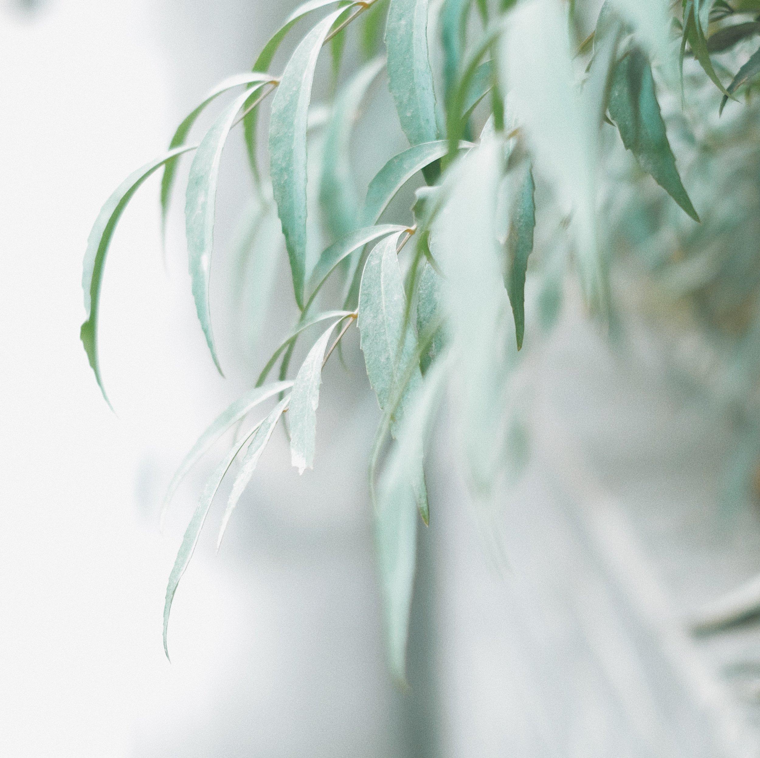 Wild Willow tree