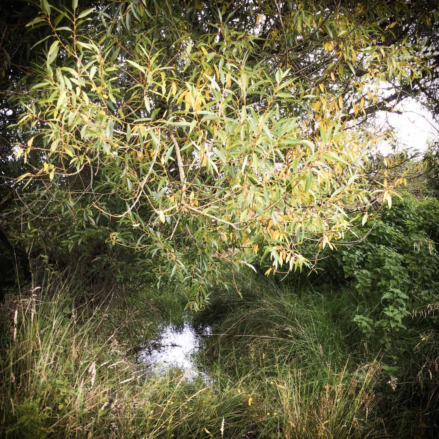Wild Willow Tree