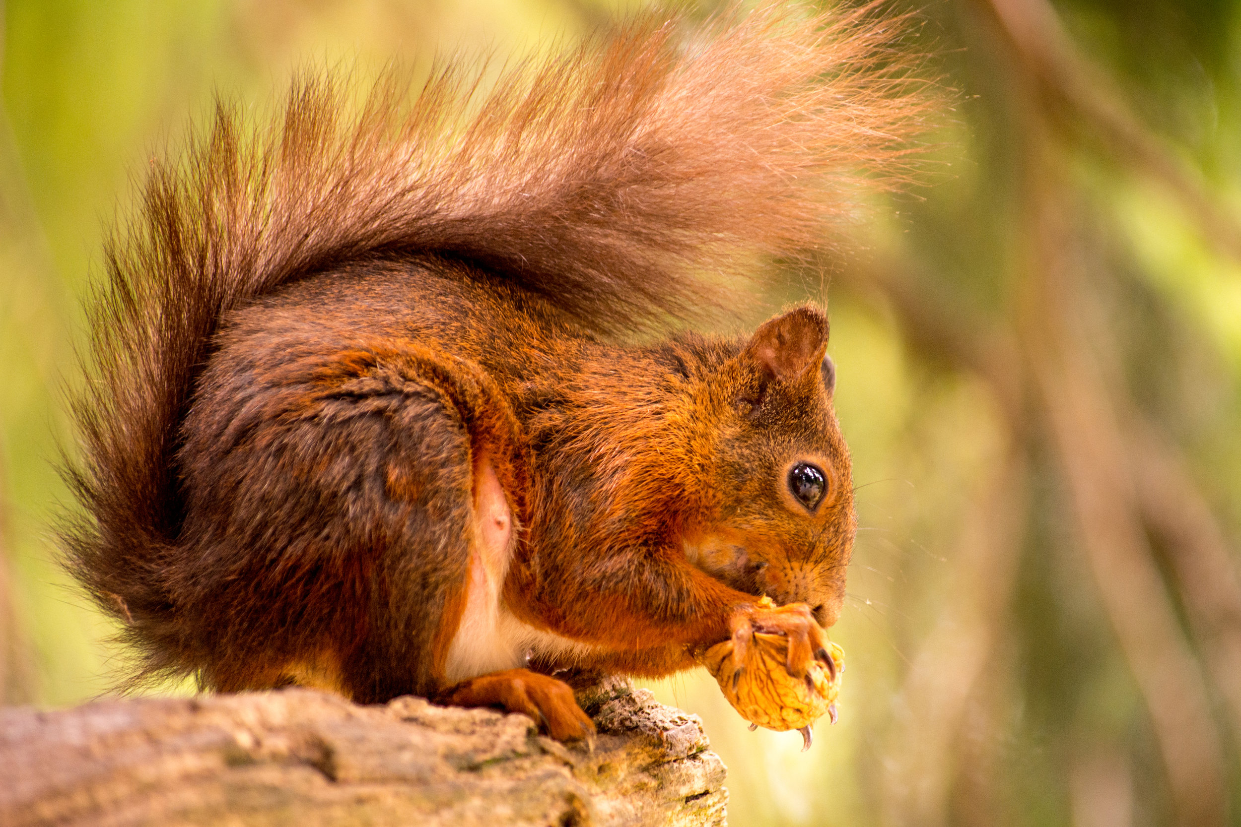 Red Squirrel eating walnut