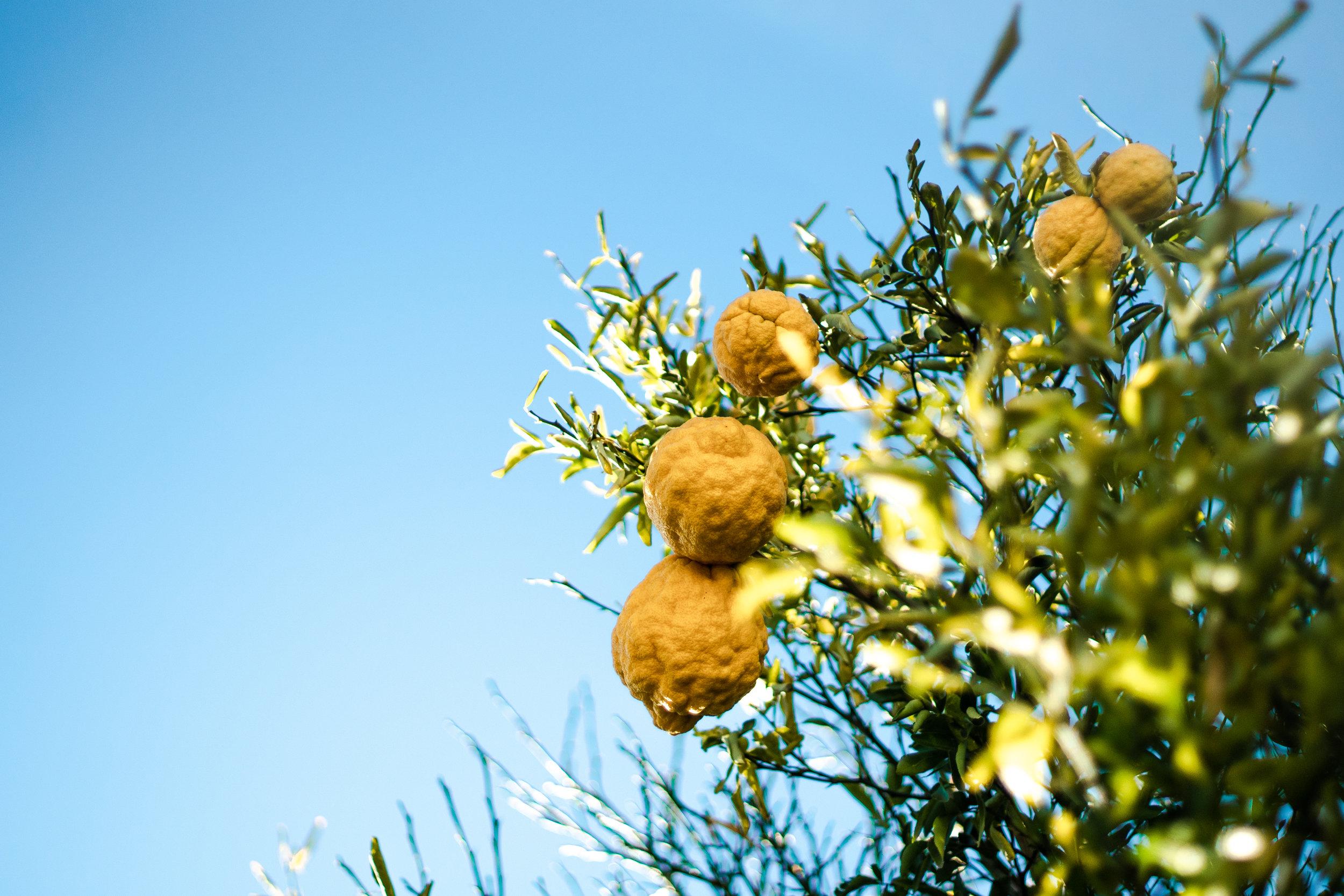 Ripening Walnuts -