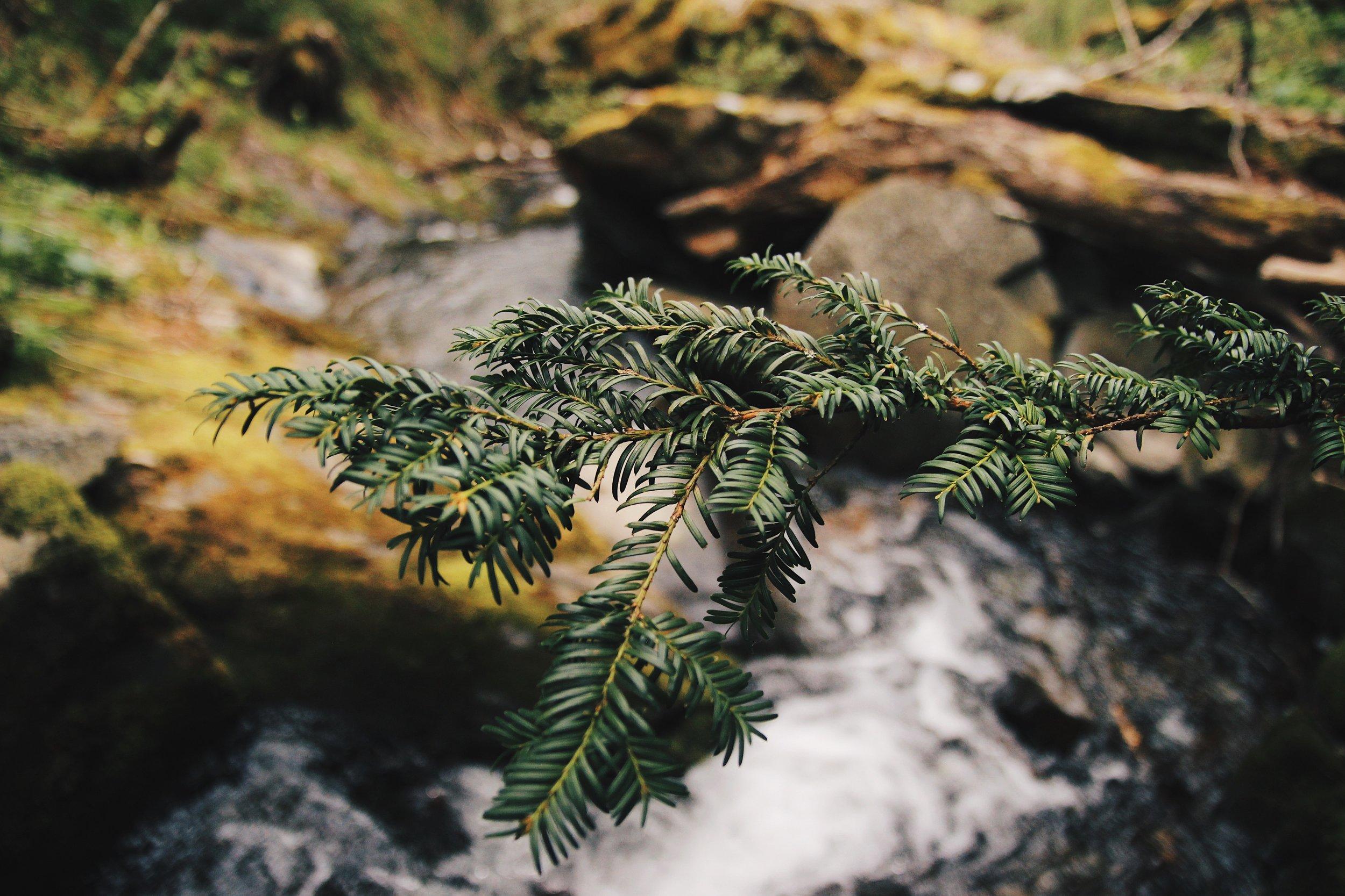 Scottish Yew