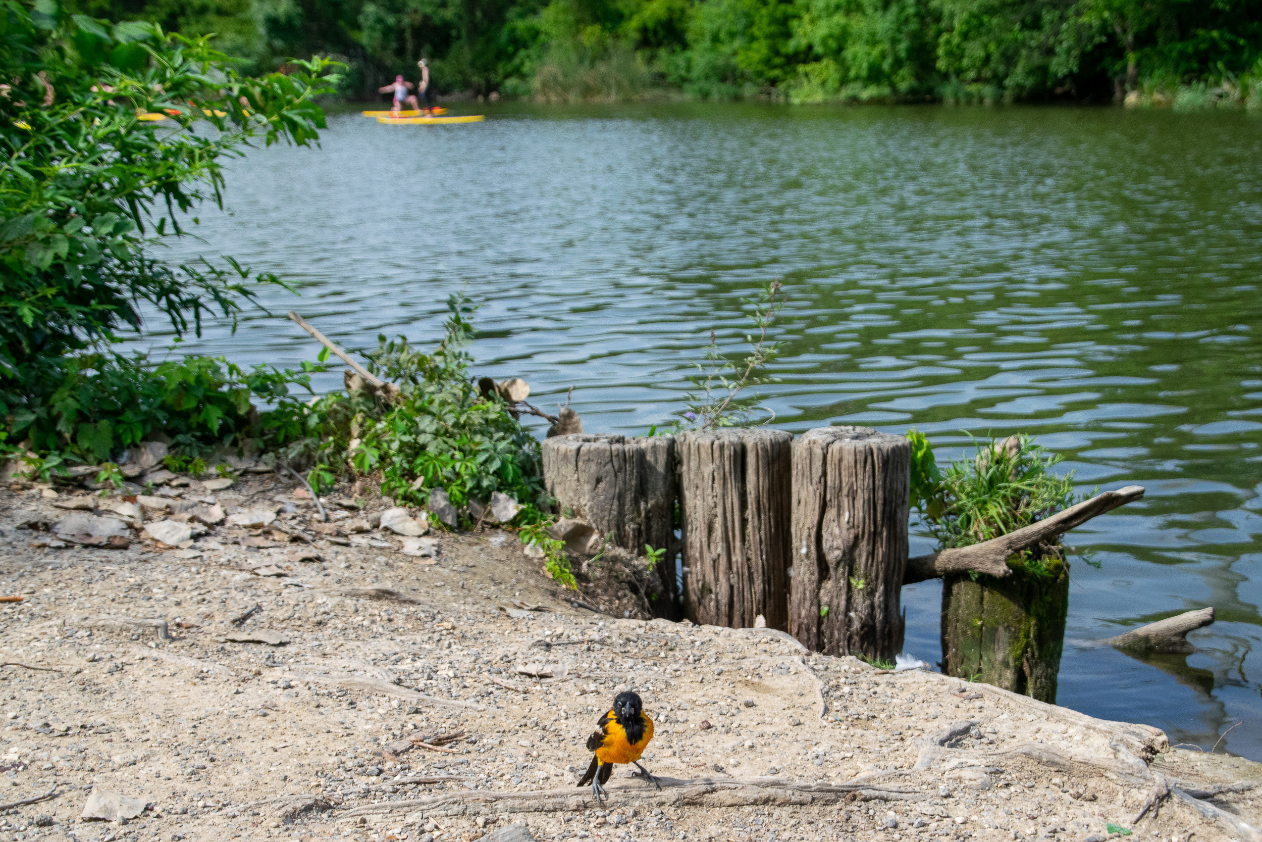 A vibrant orange oriole looks on from the shore of White Rock Lake as the yogis balance on their paddle boards.