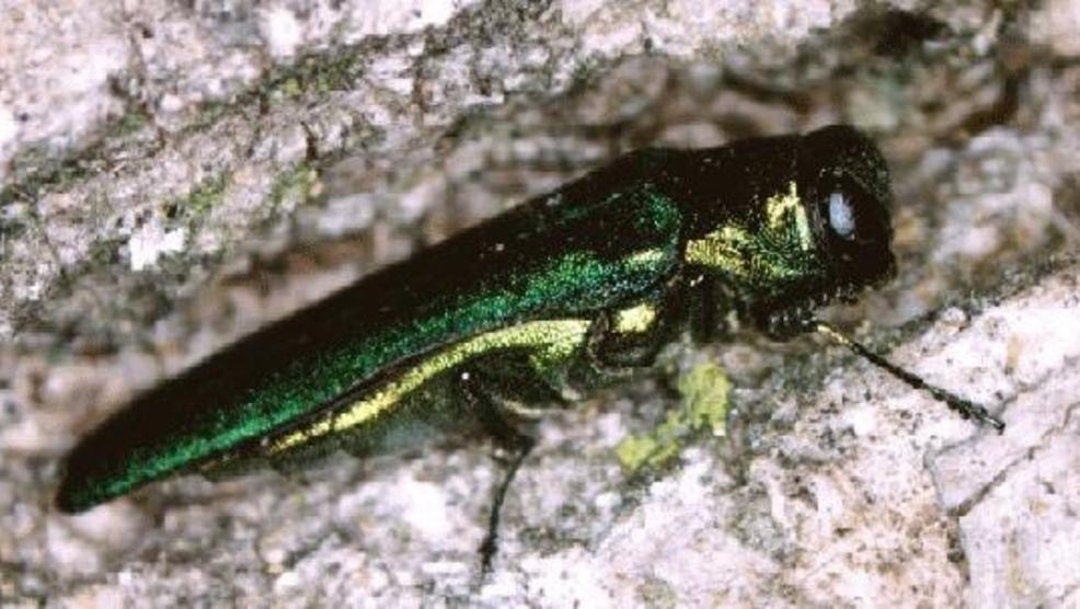 the emerald ash borer