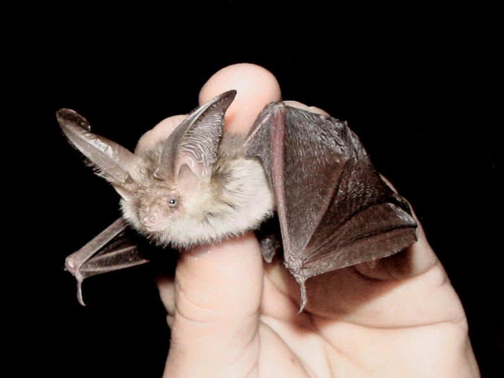 A little brown bat…