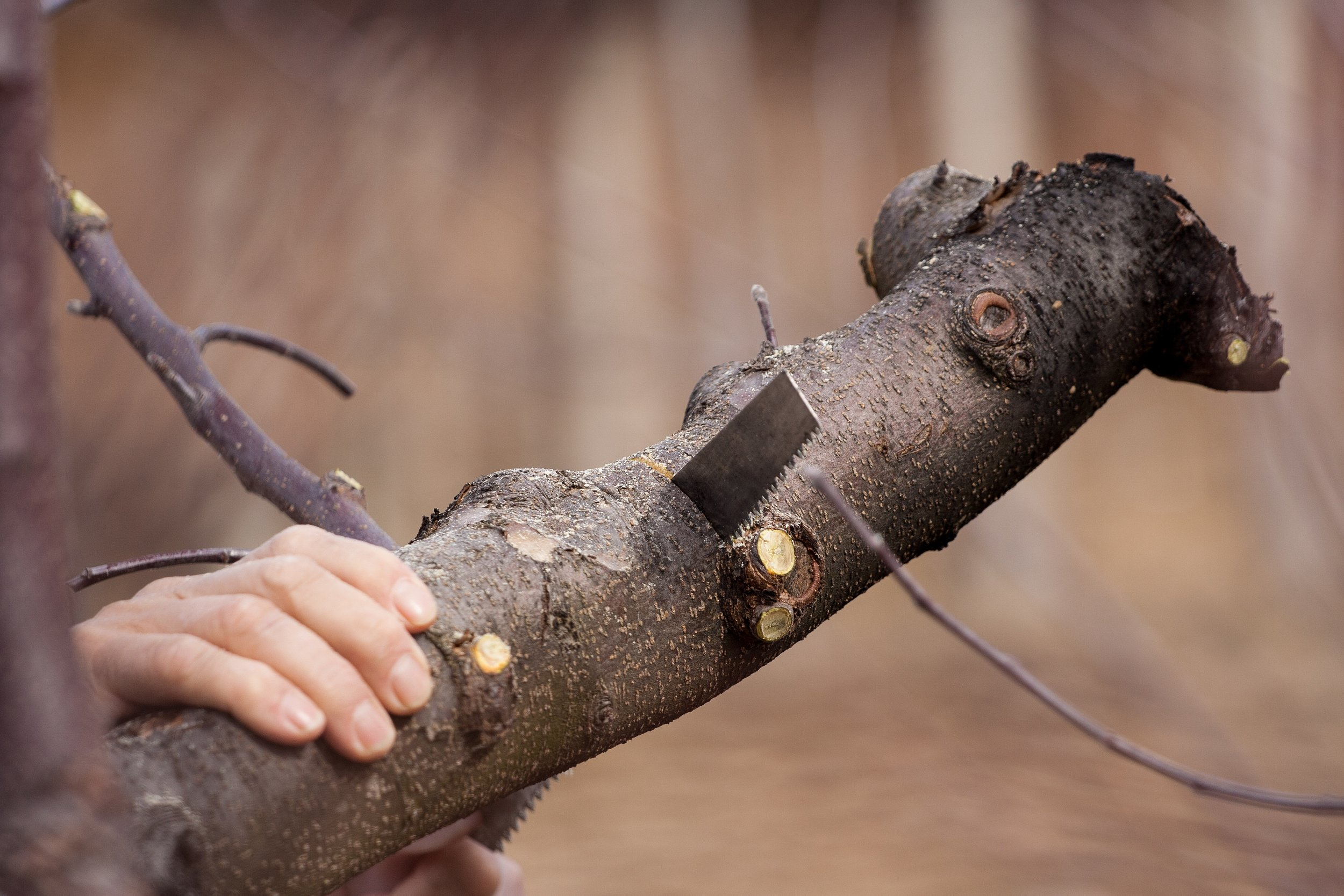 Black-cherry-tree-service-tree-trimming-pruning.jpg