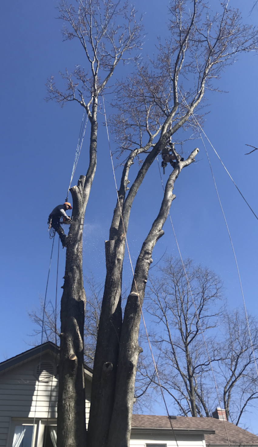 black-cherry-tree-service-climbing-removal-full-service-safe.png