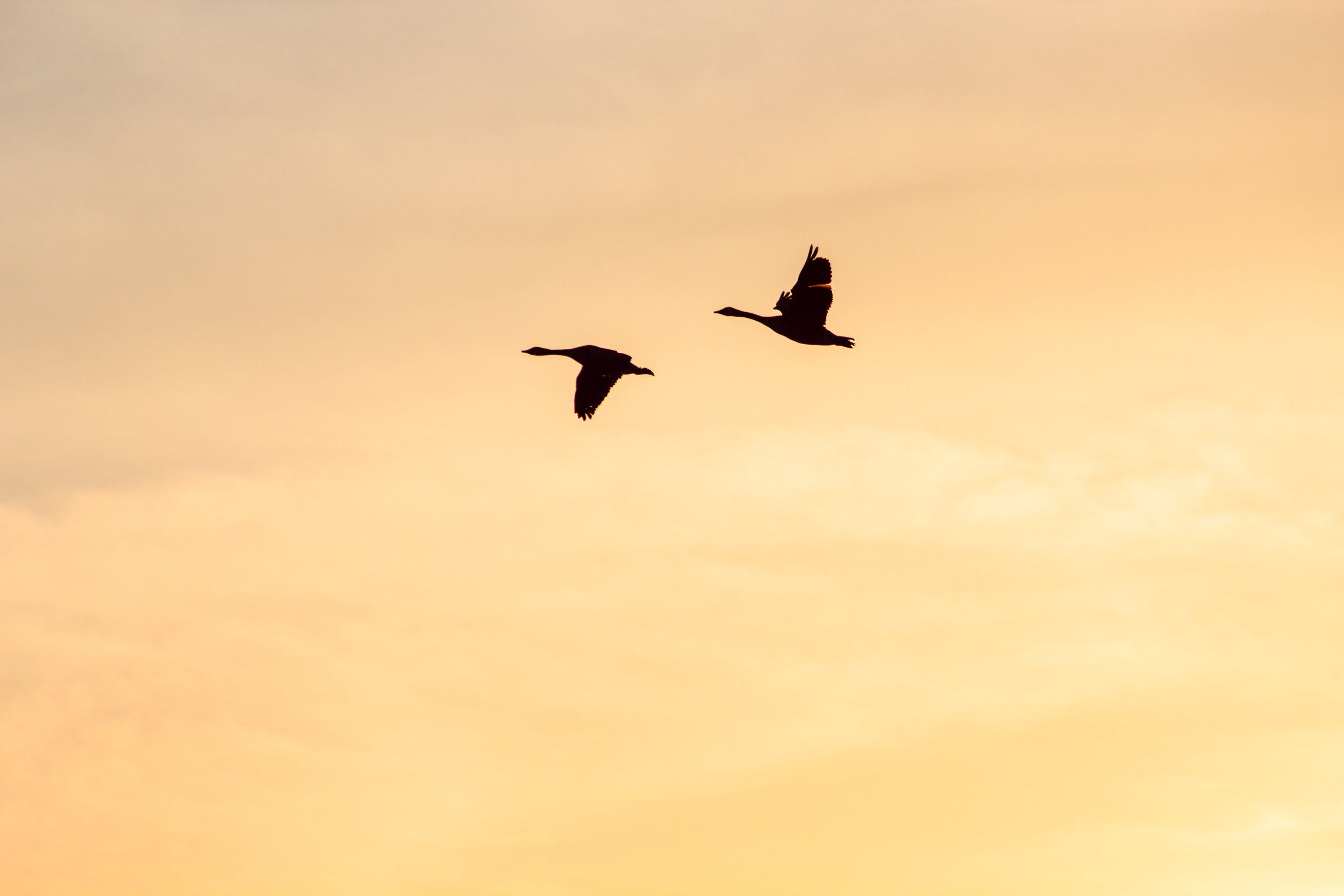 geese_in_dc_large-300x200.jpg