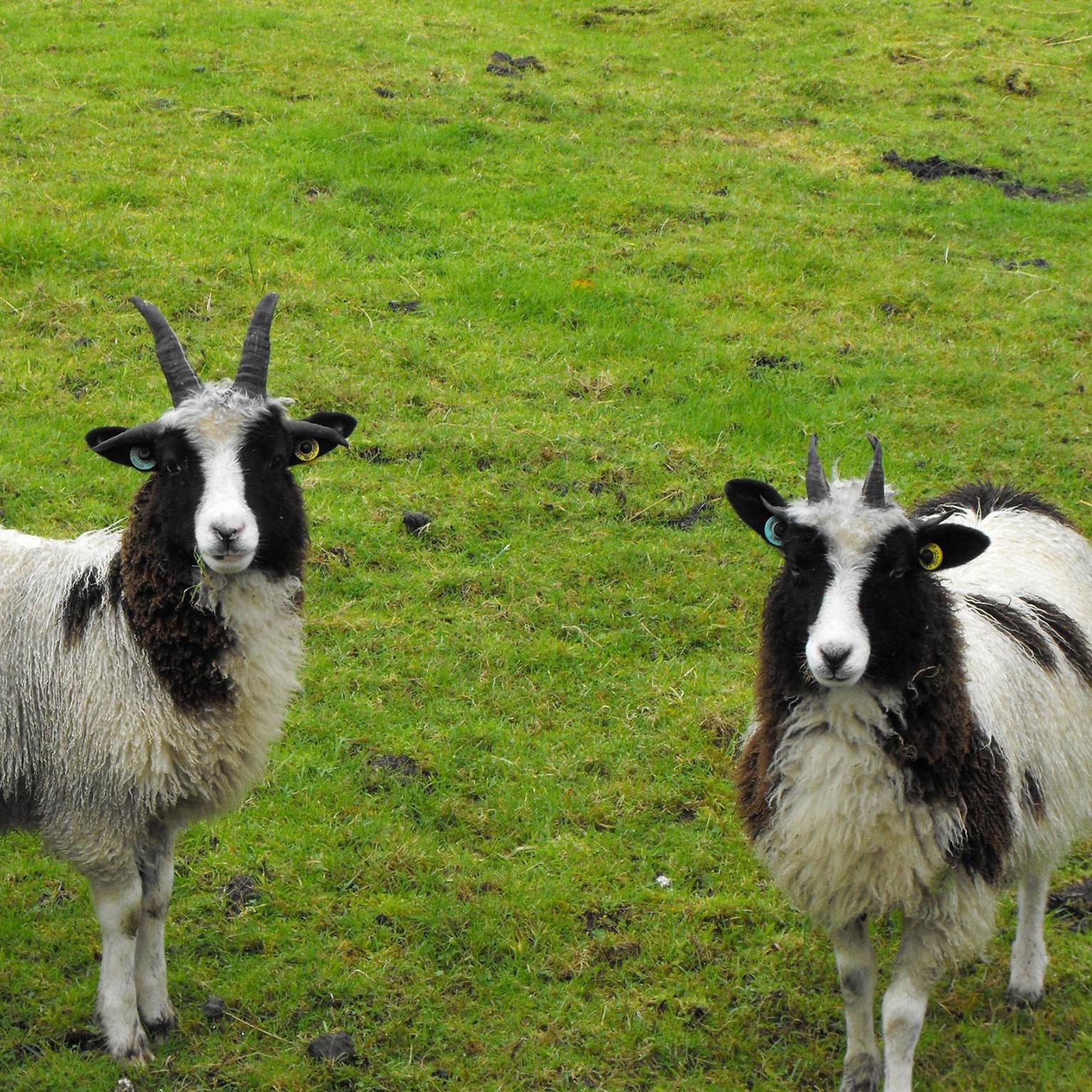 lambpage.jpg