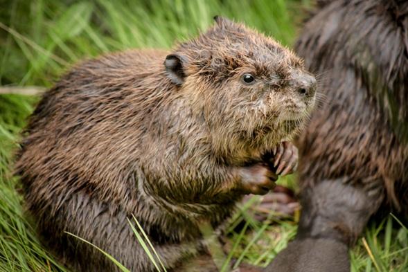 Beaver -