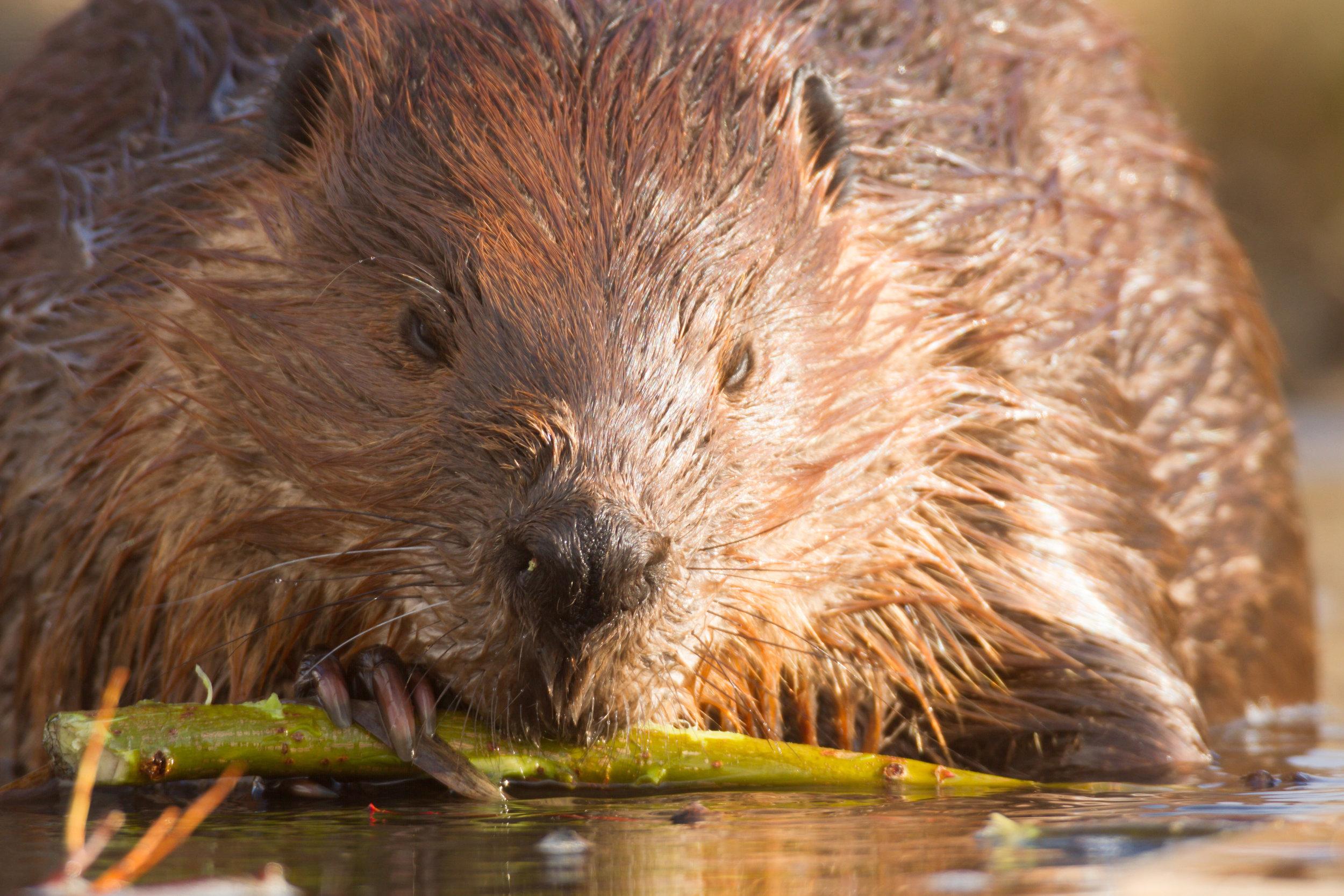Beaver3.jpeg