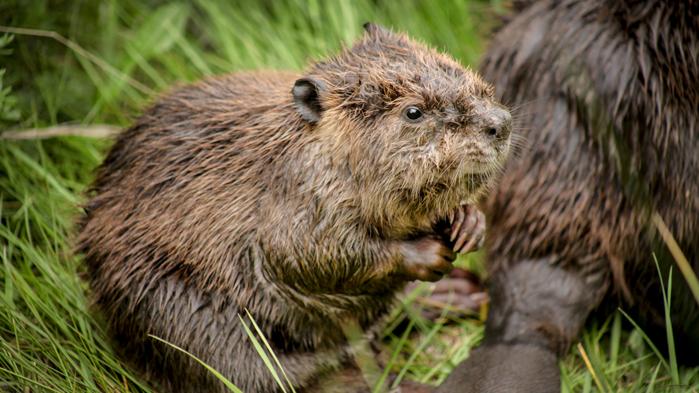 Baby beaver.png