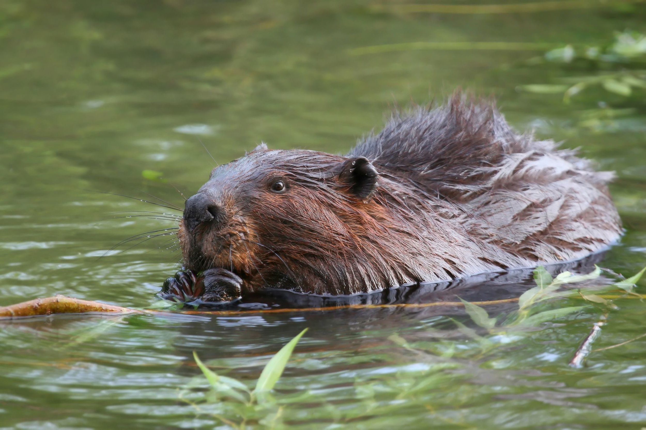 To date, The Lands Council has relocated over 100 nuisance beavers in the Inland Northwest. -