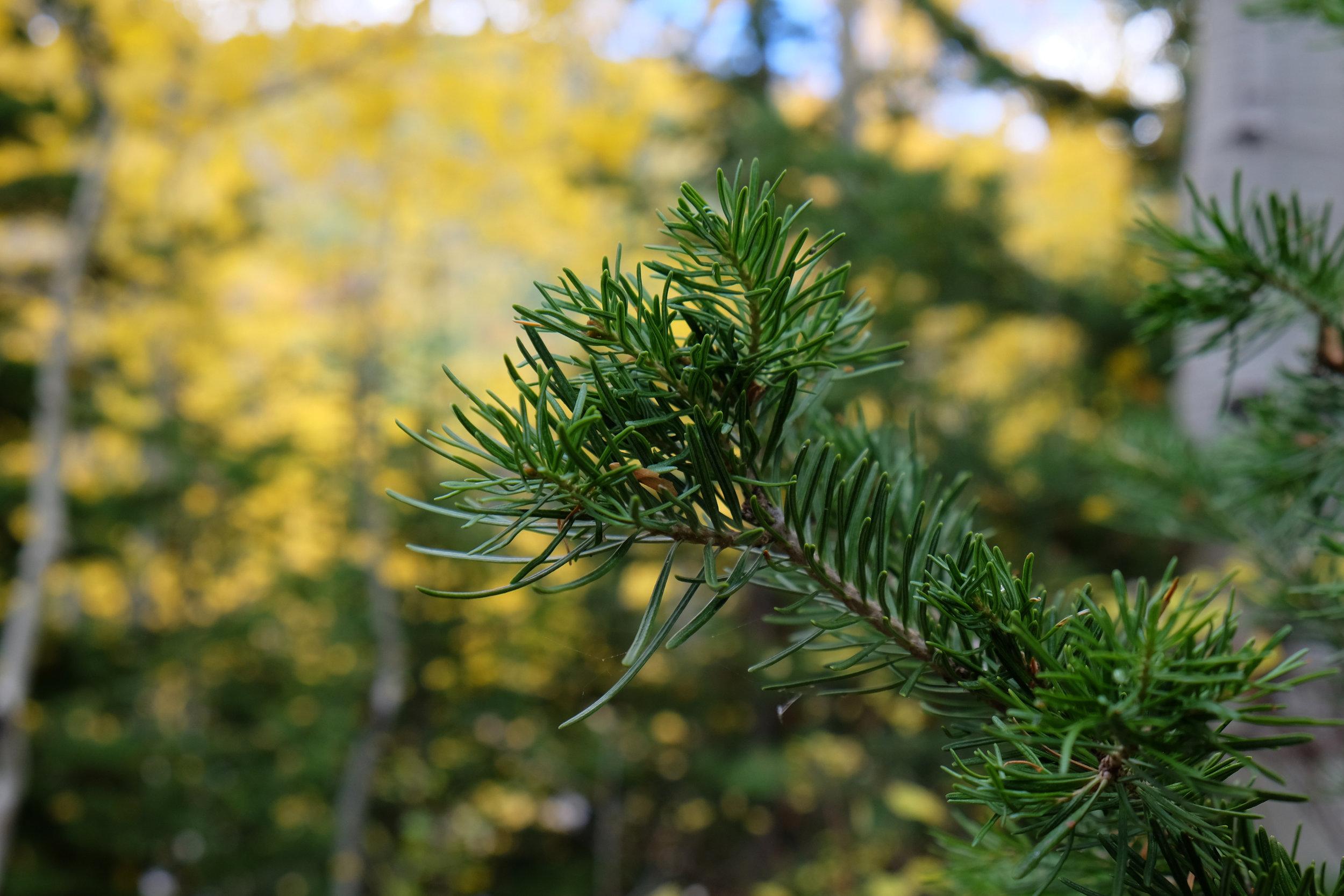 Pine Fall.jpeg