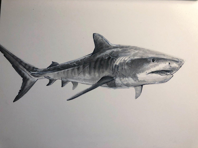 """""""TIGER SHARK """""""