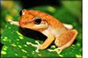 puerto-rico-coqui-frog.jpg