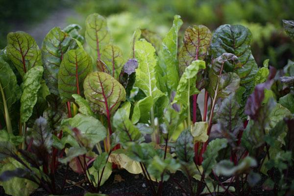 Edible garden by Helia Land Design