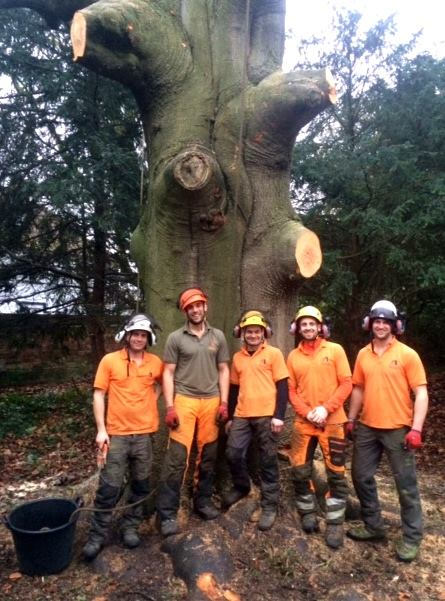 Dismantling a late mature Copper Beech in Wargrave