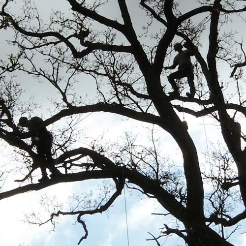 services-maintenance-tree-health-wyevale-oak-pruning.jpg