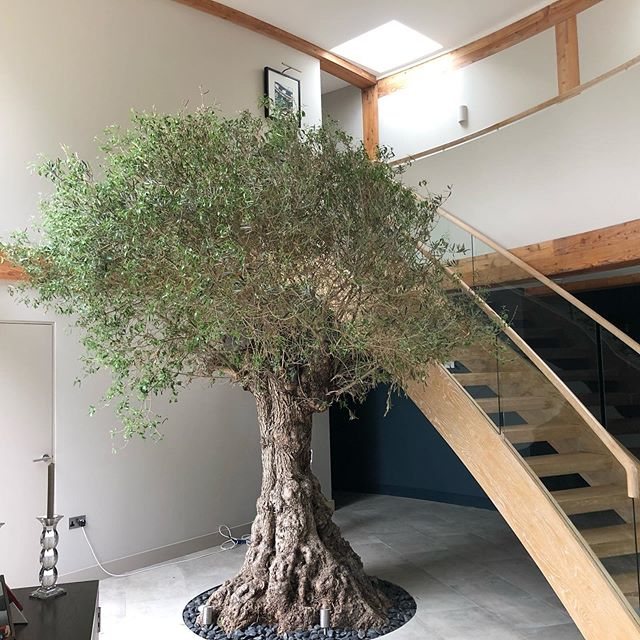 Custom built under floor planting pit 7.m3 for this 200 year old olive tree . Special aftercare .. she's looking lovely and slowly establishing.