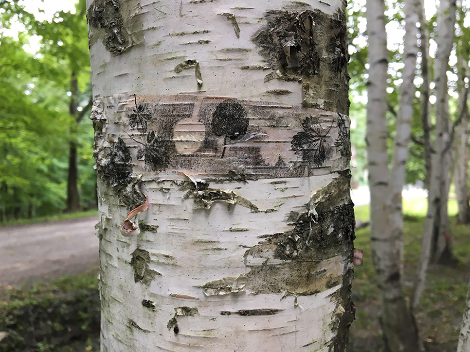 Graft: nature print on bark attached to Birch tree