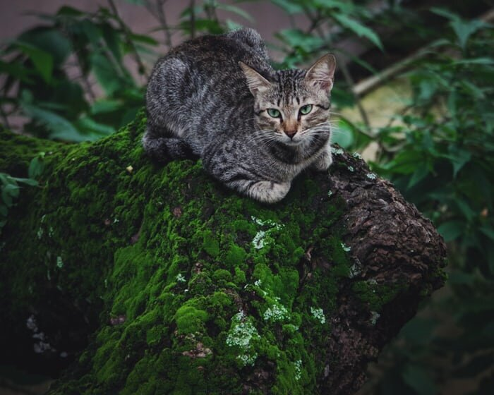Cat on moss-covered tree.