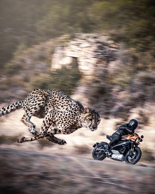 Cheetah Chase . . . . . . . PRINTS AVAILABLE  Link in bio —————————- #cheetah#bigcats #motorbike#motorcycle #harleydavidson#harley #surrealart#artofvisuals #agameoftones#thecreativers #gramslayers#alphahype #milliondollarvisuals#picoftheday #watchthisinstagood#dailyart #streetartglobe#enter_imagination #theuniversalart#eclectic_shotz #worldofartists#highsnobiety #ourplanetdaily#wildlifeplanet #soacewheel#graphicroozane #creativeoptic#visualmobs #hypebeast#ebenism