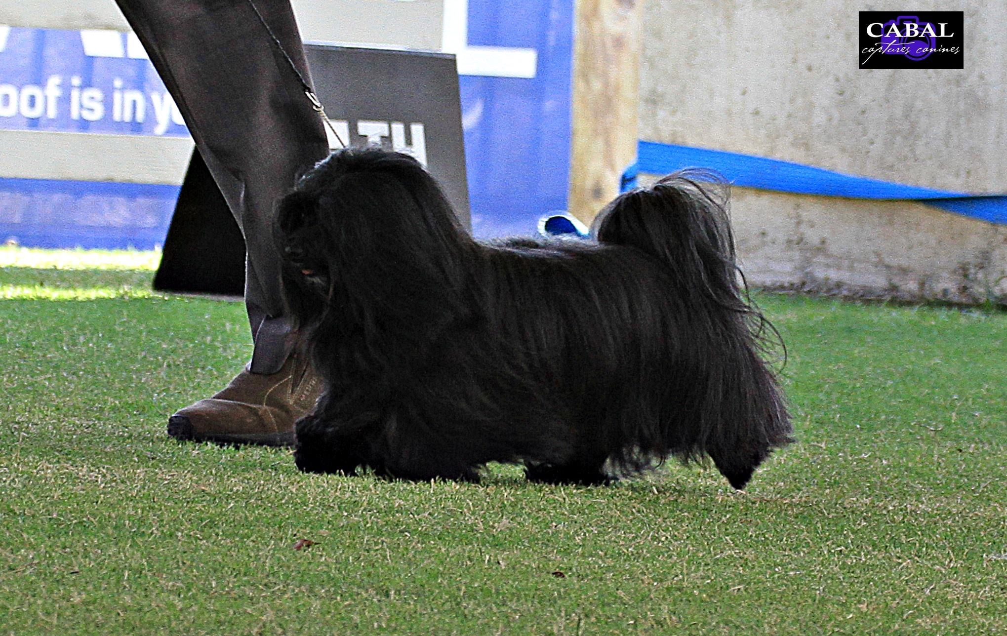 Powering on to win Reserve Challenge Dog at Sydney Royal Dog Show 2019.