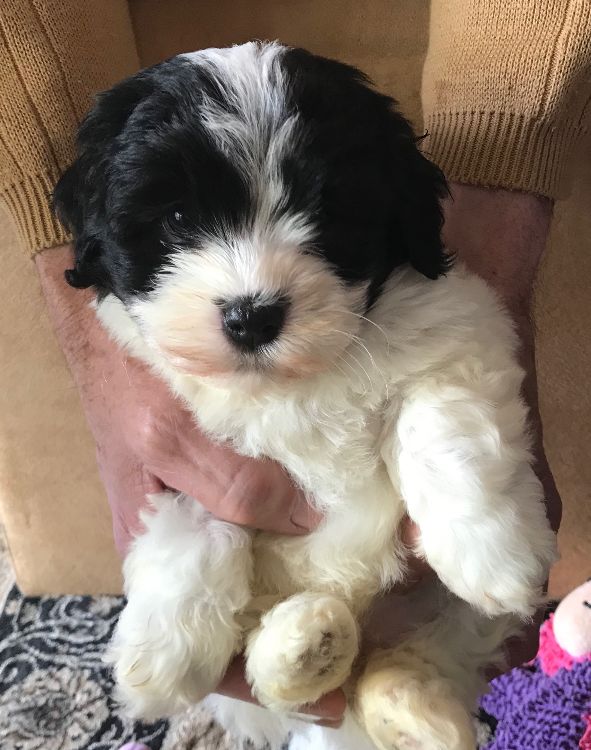 """One of our baby girls from our last litter - """"Farrah"""" - SOLD"""