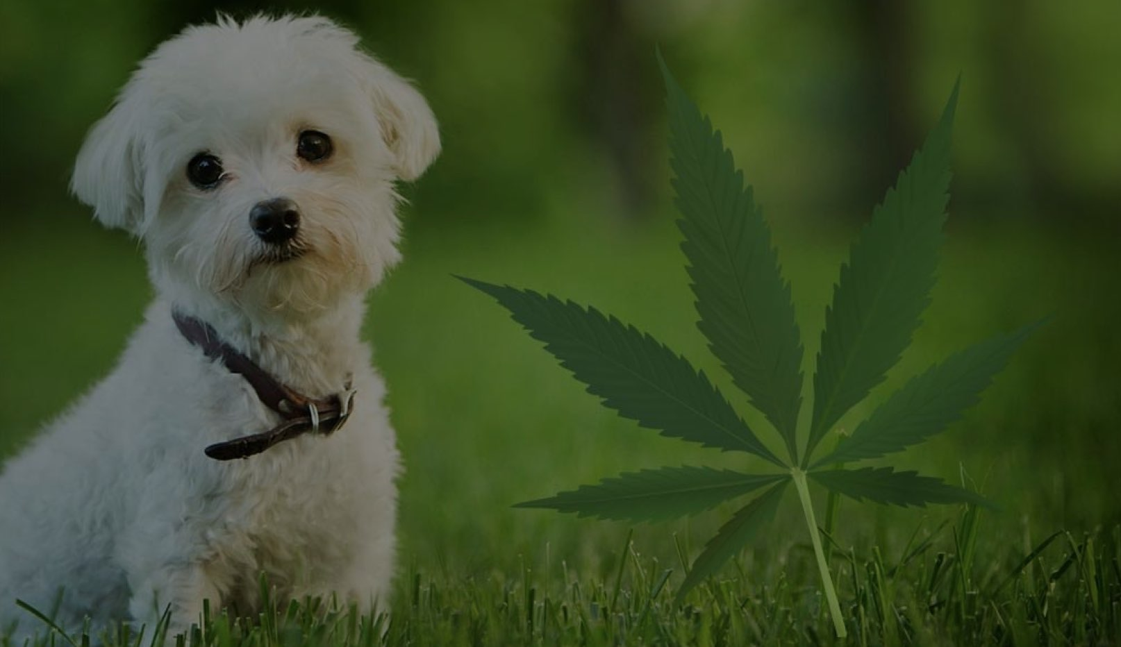 LEGAL - Is using CBD oil for me pet legal in NZ?