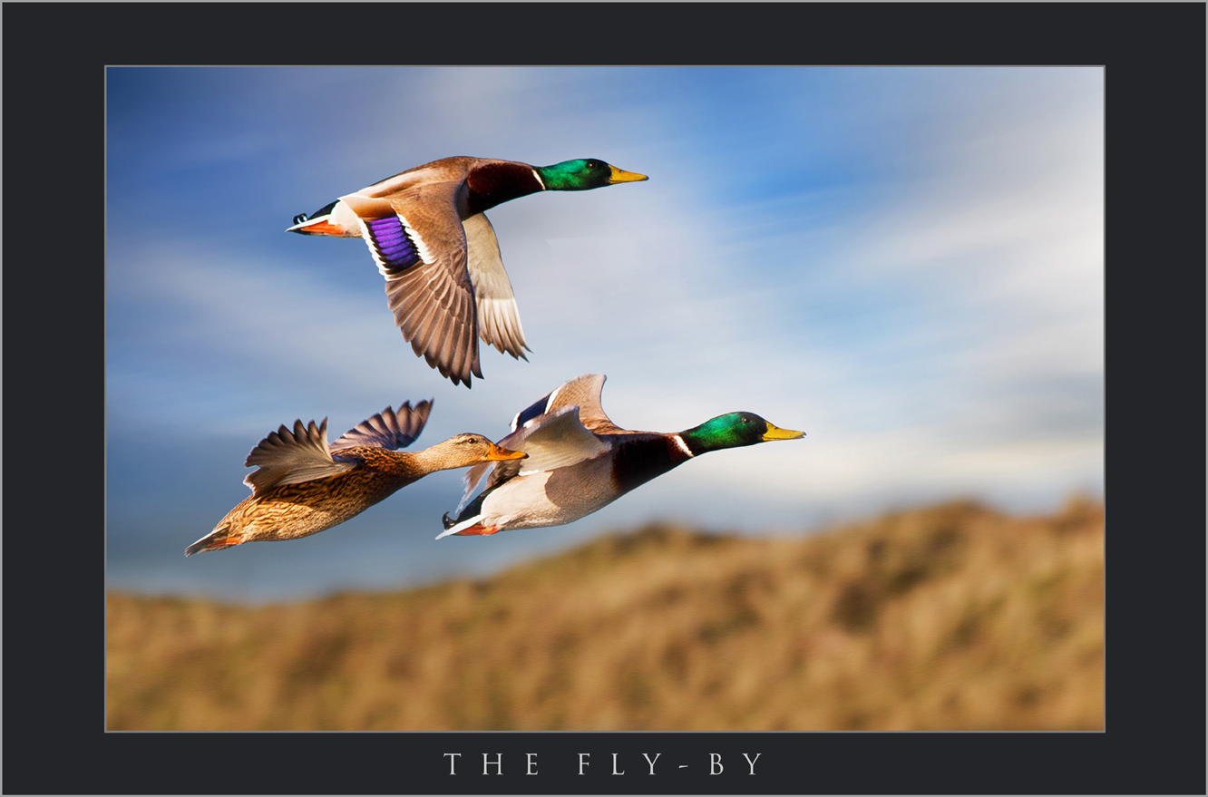 AWARD WINNING WILDLIFE PHOTOGRAPHY BY SCOTT WARNE; PUBLISHED WILDLIFE IMAGES; BUY PICTURES OF FLYING DUCKS, THE BEST WILDLIFE PHOTOGRAPHY IN THE UK.jpg
