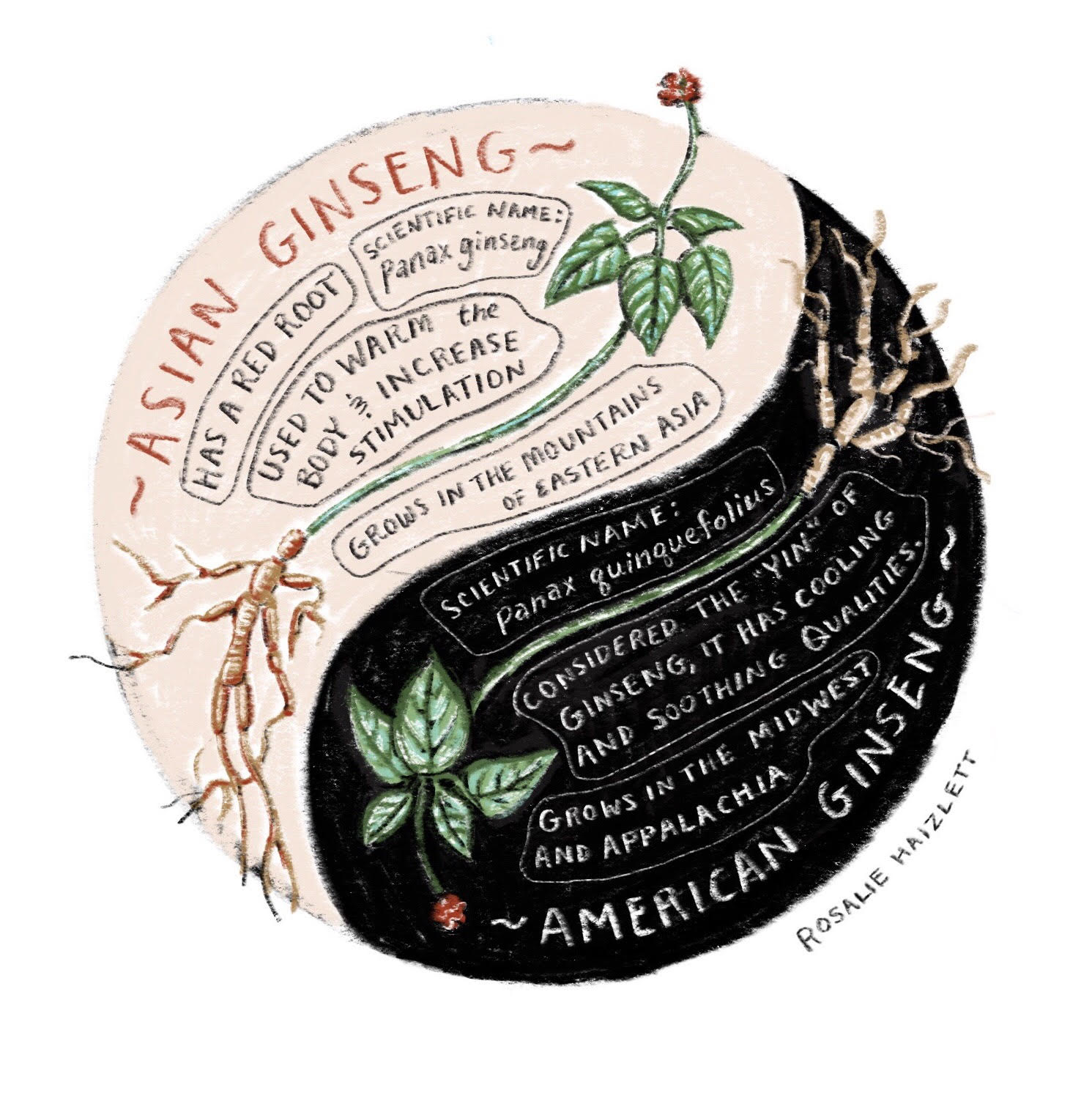 "Illustration to explain the differences between Asian Ginseng (considered to have ""yang"" healing properties) and American Ginseng (possessing ""yin"" medicinal properties)."