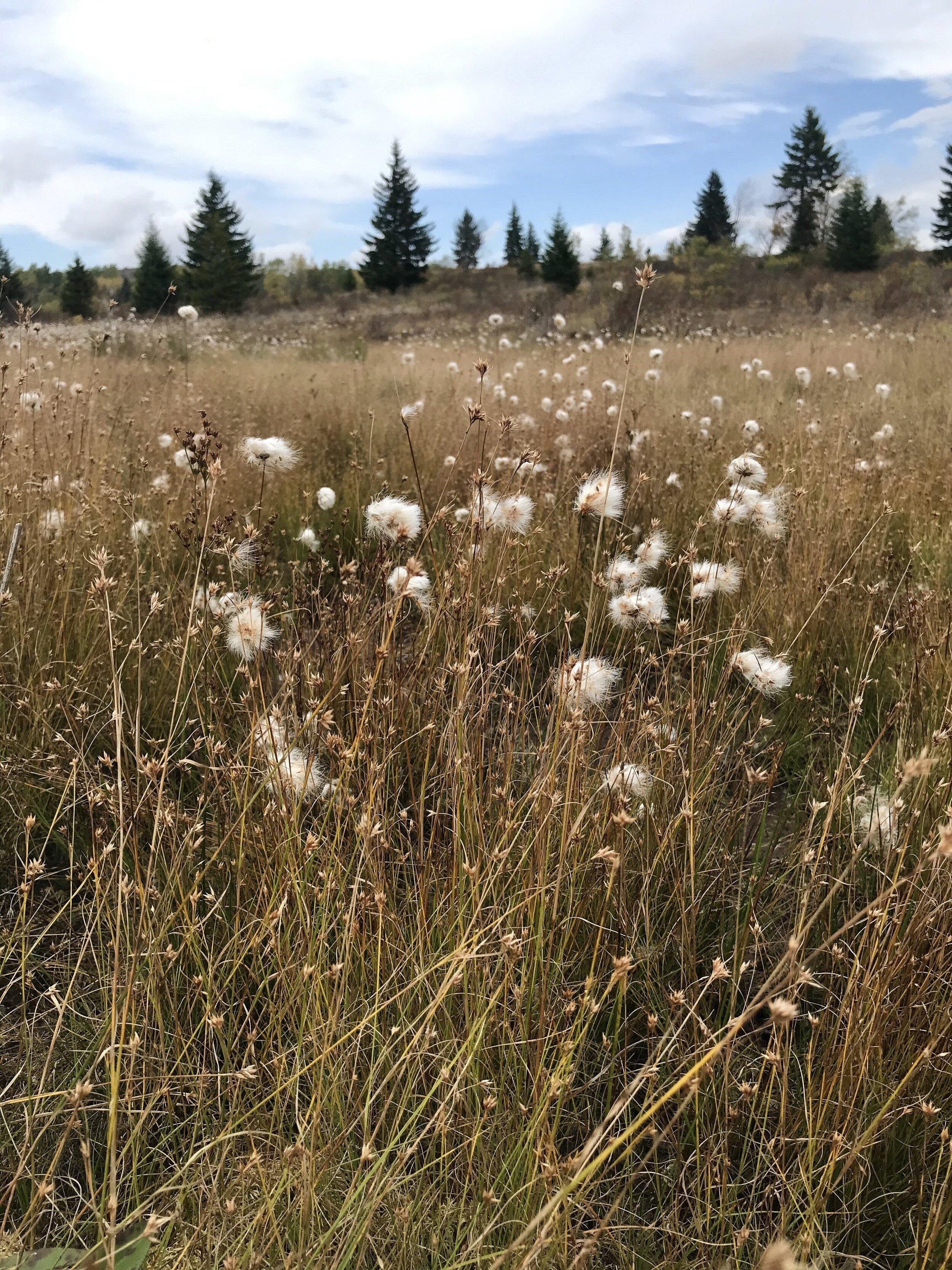 Cottongrass growing in a bog along Dobbin Grade Trail.