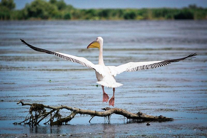 BIRD WATCHING - Adapost de incredere pentru mai bine de 60% din populatia mondiala de cormorani pitici si 50% din cea de gaste cu piept rosu, dar si pentru cel mai mare numar de pelicani albi egipteni si pelicani creti din Europa, Delta Dunarii este un adevarat paradis pentru amatorii de bird watching. Cu cei peste 3540 de kilometri de rauri, canale, mlastini, lacuri inconjurate de copaci si insule de stuf, Delta Dunarii gazduieste cel mai mare numar de colonii de pasari de pe continent. Peste 300 de specii, de la cormorani la codalbi, gaste arctice si tiganusi, unele provenind din locuri indepartate precum China si Africa, fac din sezonul de bird watching un adevarat spectacol ce dureaza din primavara timpurie pana in ultimele zile de vara.