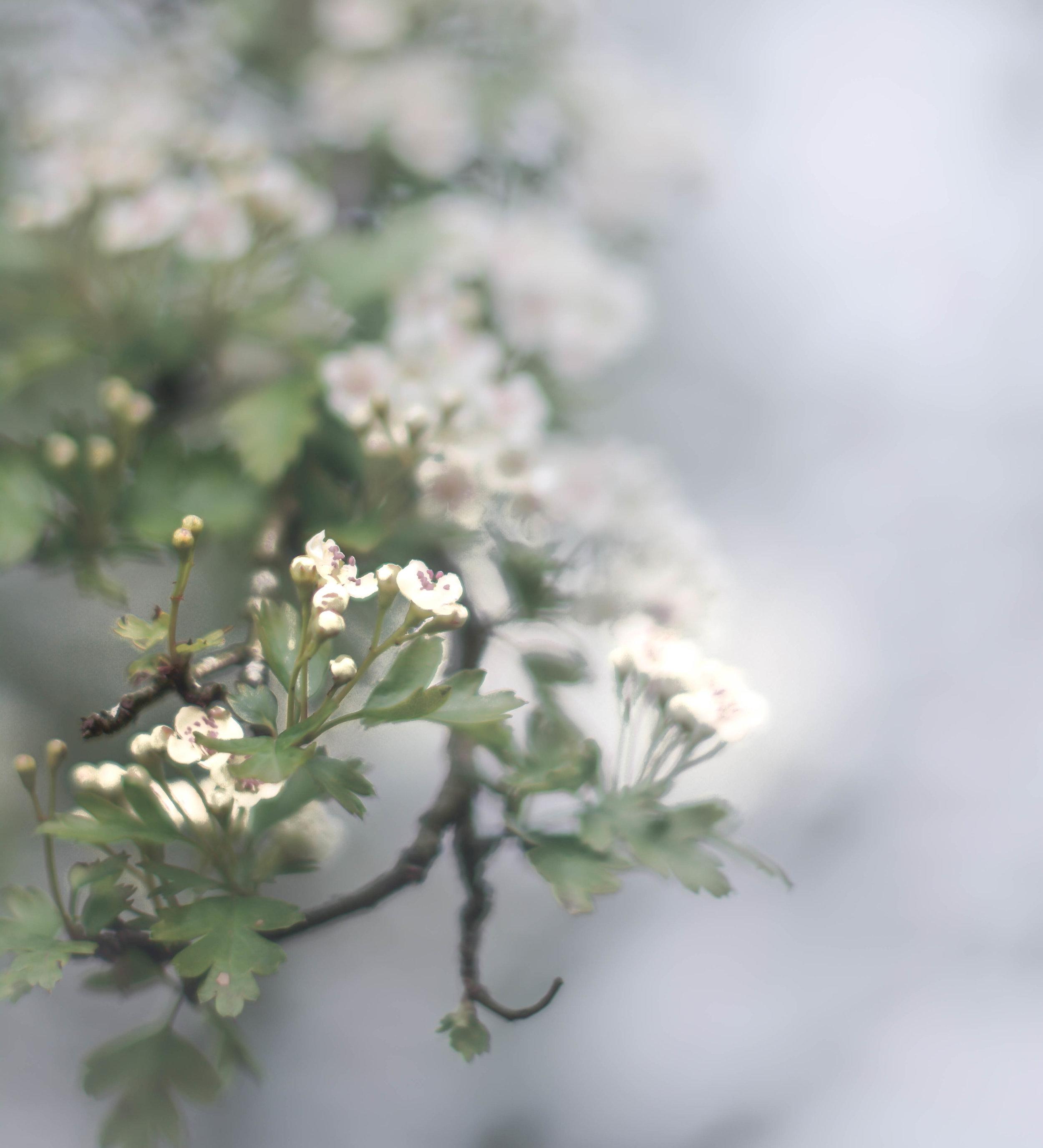 Hawthorn flowers.jpg
