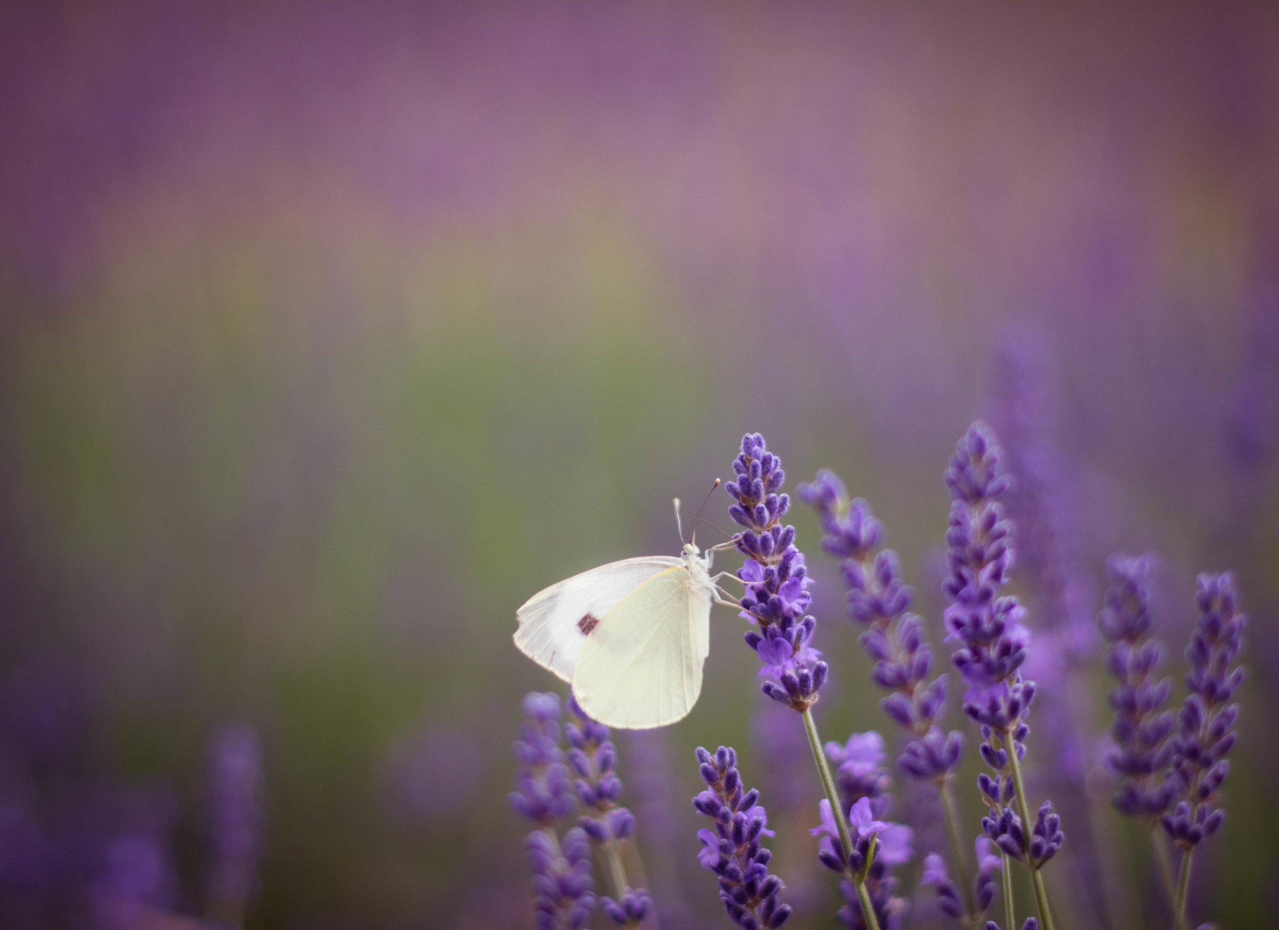 Lavender Season 10.jpg