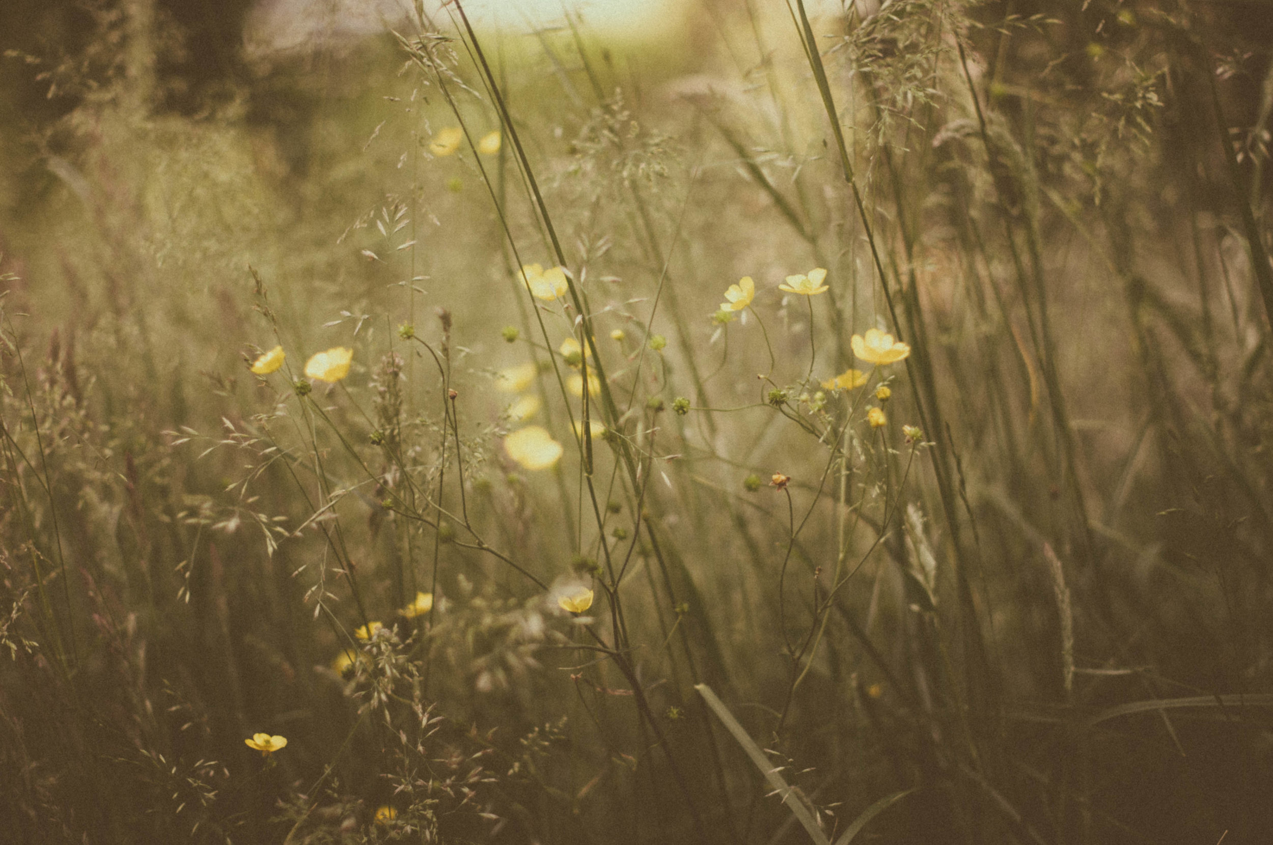 Summer Meadow Buttercups.jpg