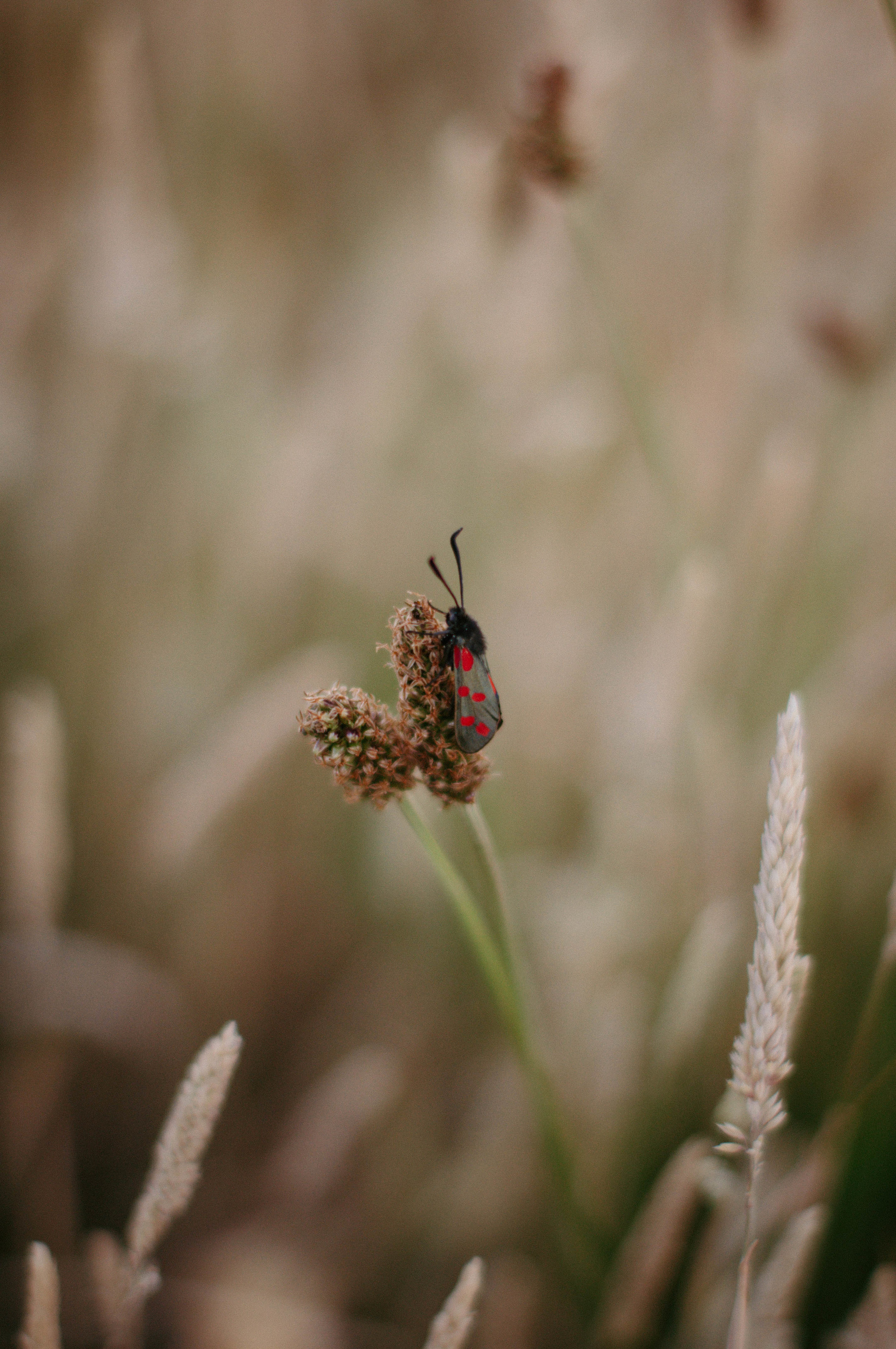 New Forest Burnet Moth.jpg