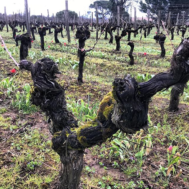 """This is old-vine Cabernet Franc from the """"La Carrière"""" lieu-dot or small vineyard block, at the top of the St-Emilion plateau in Bordeaux. @componentwine produces a singular expression of varietal and place here, that is beautifully raw, fresh and vibrant. #componentwine #vinfraîche #drinkfraîche #Bordeaux"""