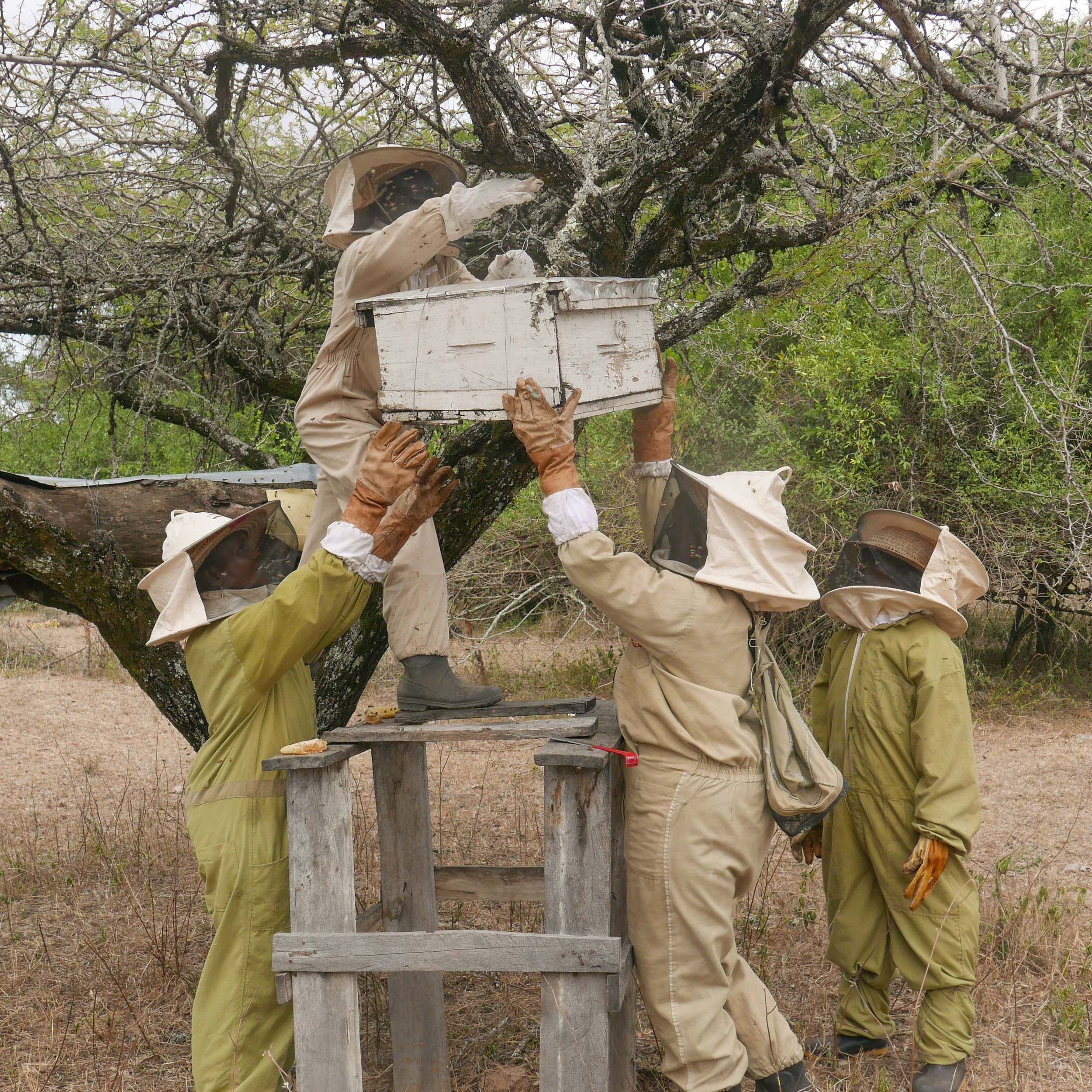 Beekeeping team members working together to lower a hive for inspection.