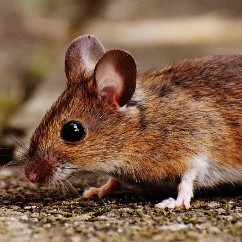 Accurate-pest-control-management-mouse.png