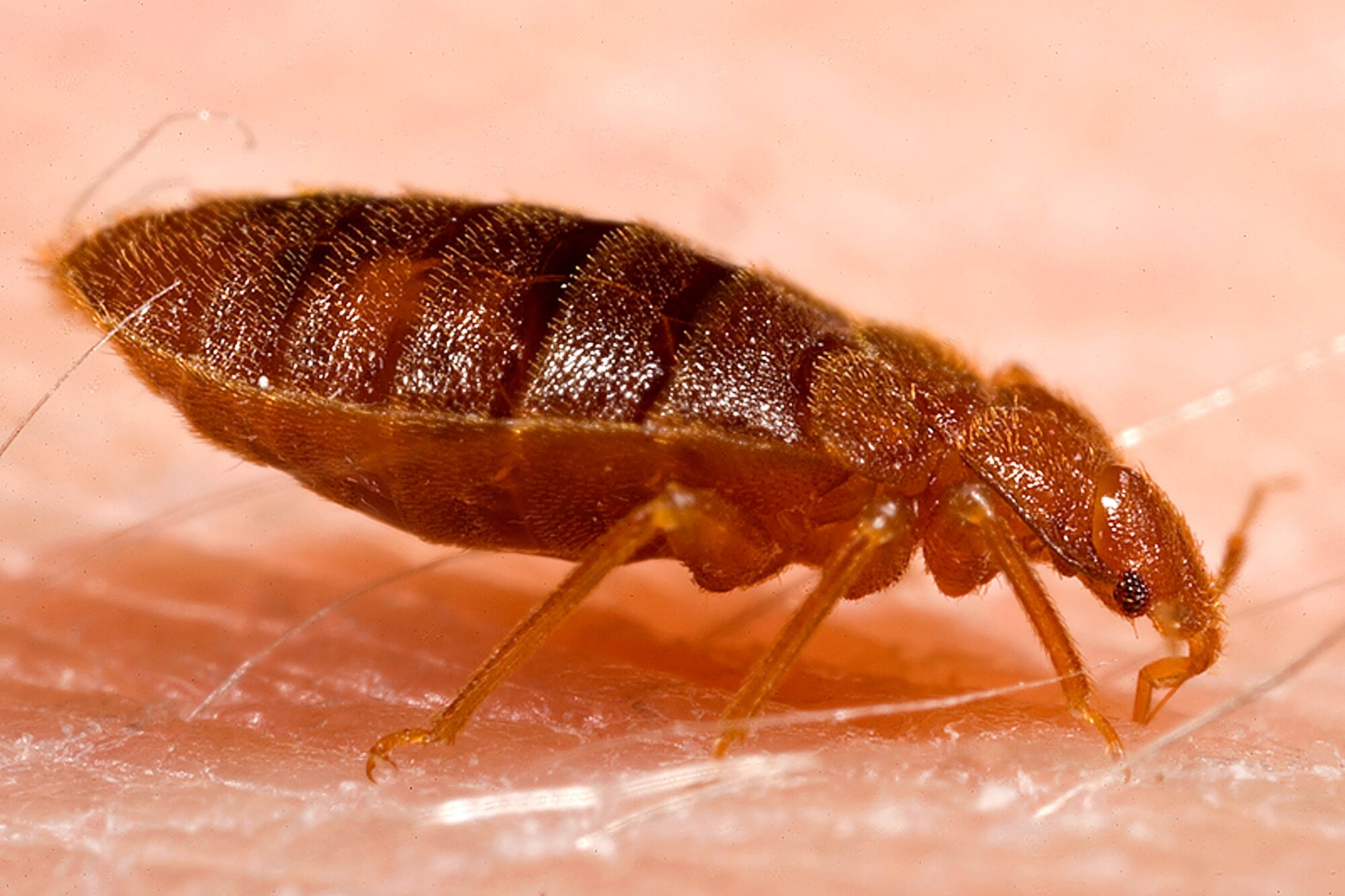 accurate-pest-control-management-bed-bugs.jpg