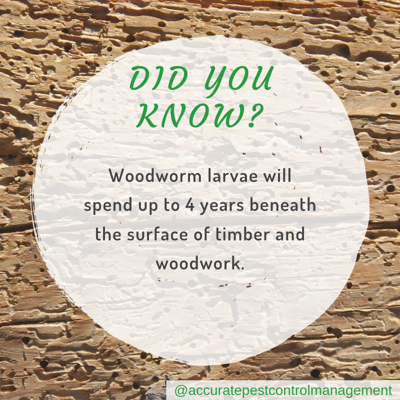 Accurate-pest-control-management-pest-facts-woodworm-spend-4-years-in-timber.png