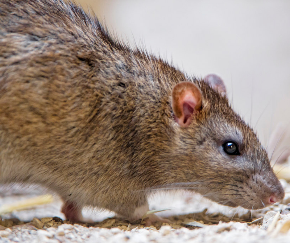 Accurate-pest-control-management-pests-rodents-rats.png