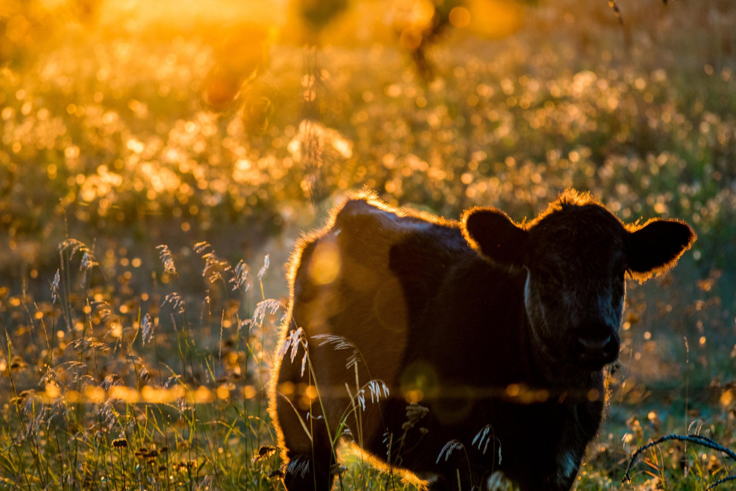 cows-027.jpg