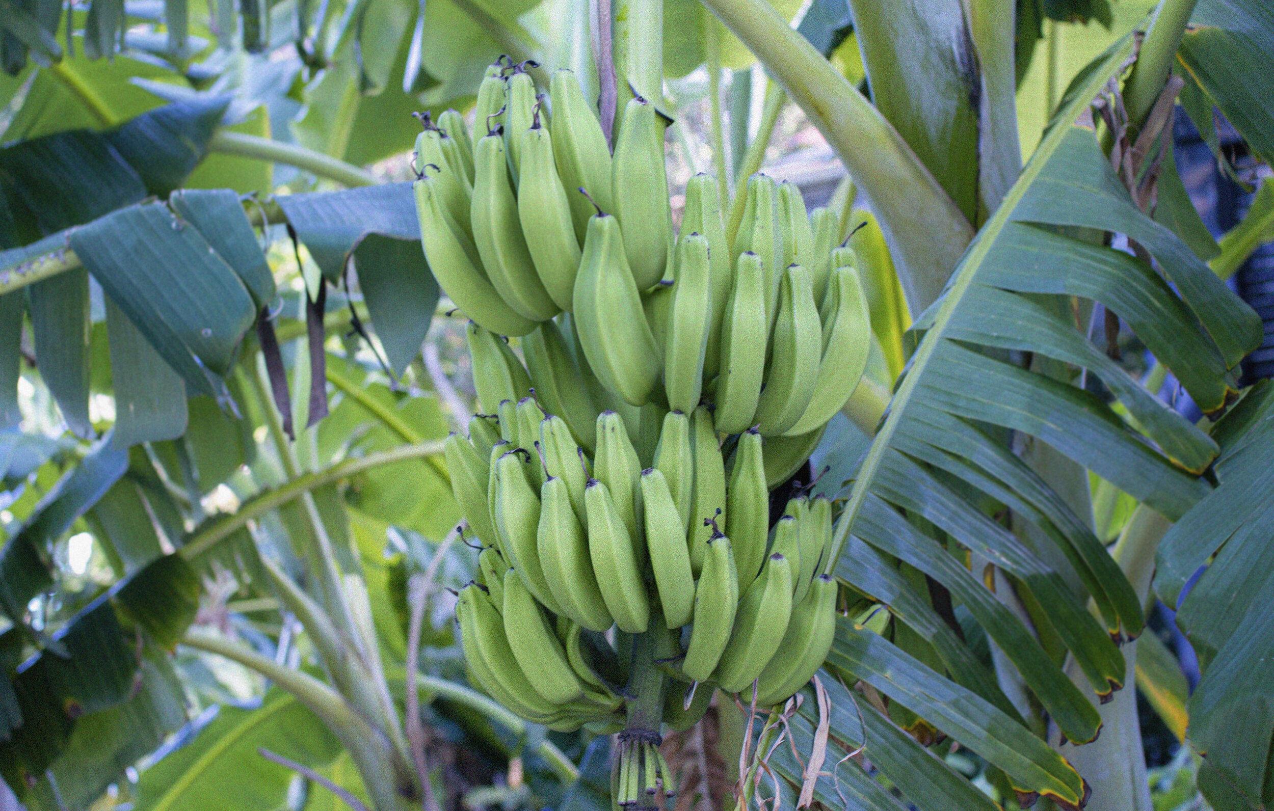 1_banana.jpg