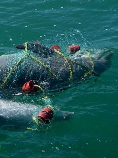 dolphins - Indiscriminate bycatch by gillnets significantly affects marine mammals including bottlenose and spinner dolphins. Gillnets have caused near-extinction of the endemic cetacean vaquita porpoise in Mexico. A gillnet ban was recommended there as a last ditch effort to save this species.Read the article here.