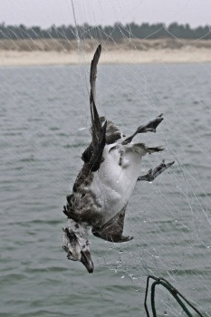 Sea Birds - Sea birds frequently become entangled in gillnets and perish as they dive for fish trapped in the nets.