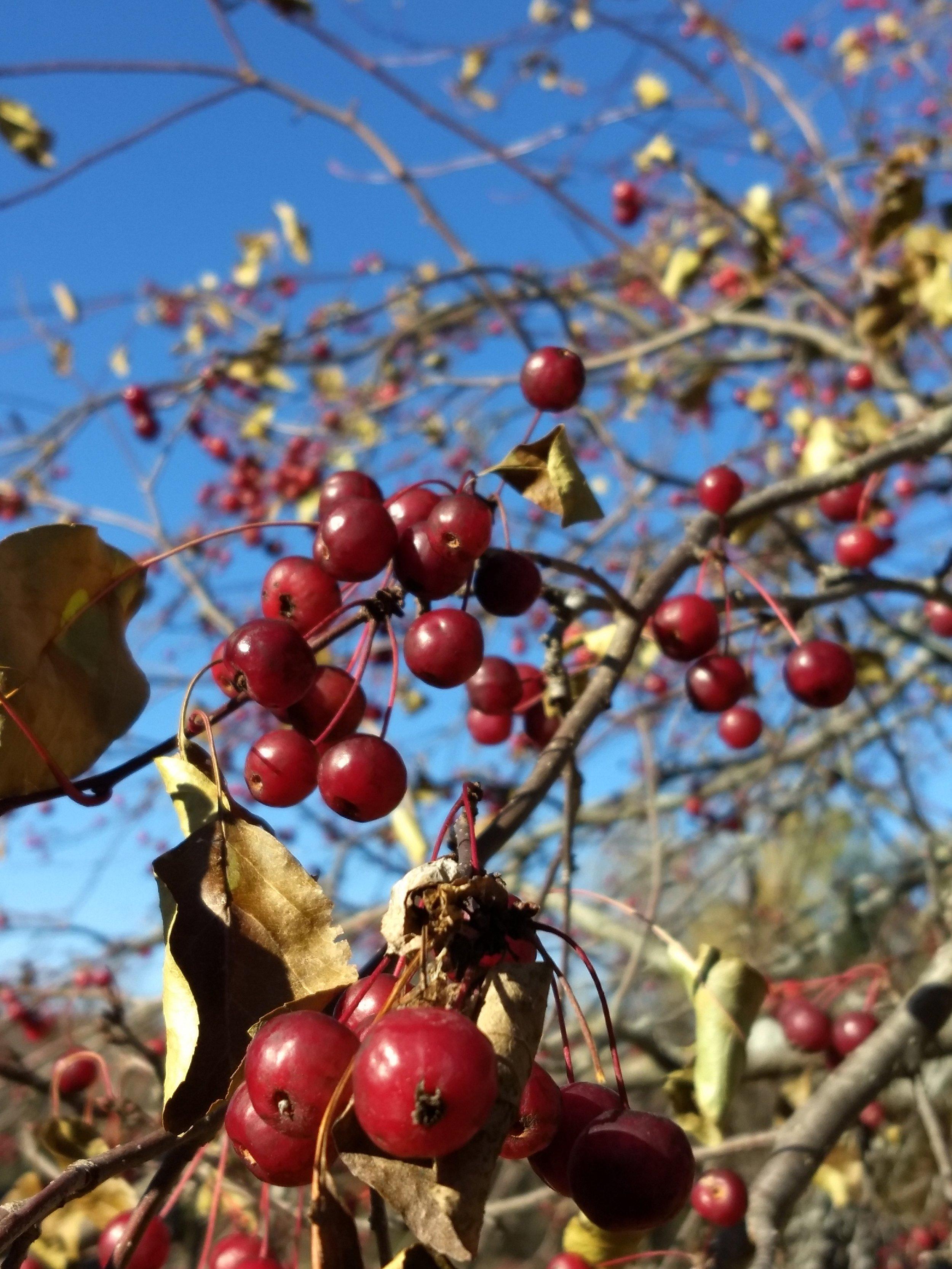 Crabapples in Fall.jpg