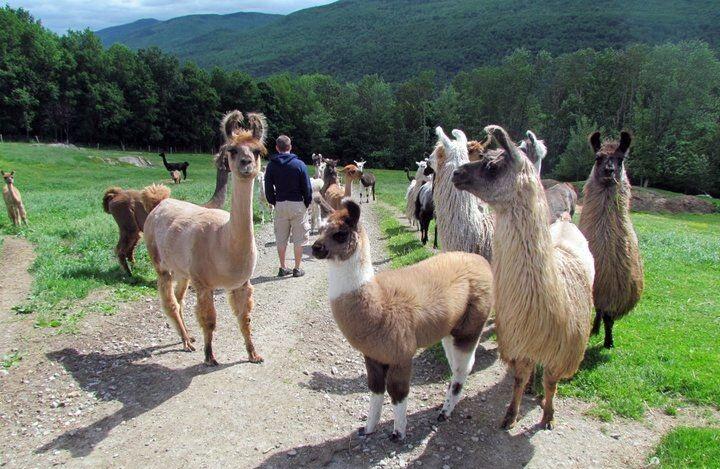 Llama+Walk.jpg